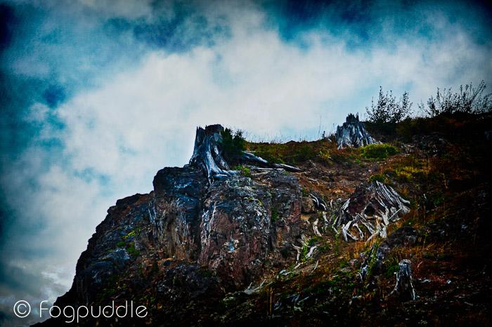 Worldwide Photo Walk - Mt St Helens - Tree Stumps